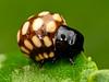 Käferlarve (Eerika Schulz) Tags: käferlarve käfer larve beetle larva larvae puyo ecuador