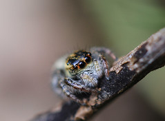 jumping spider (VM-macro) Tags: nature macro araignée spider sauteuse jumping hairy poils