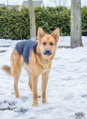 Yard Fun (MedicalRx) Tags: dogs d5100 dog medrx nikon nature snow winter canada fun canine funny caninos canadian chien german shepherd shepsky husky mutt puppy 50mm