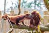 Kiss and eat (Photography by Martijn Aalbers) Tags: redhowler rodebrulaap monkey aap mammal ape animal dier nature natuur life leven zoo dierentuin deapenheul apenheul apeldoorn guelders gelderland thenetherlands nederland dutch nederlands zoogdier canoneos77d ef70200mmf4lisusm wwwgevoeligeplatennl