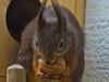 Walnuß / Walnut (schreibtnix on 'n off) Tags: deutschland germany bergischgladbach tiere animals eichhörnchen squirrel sciurusvulgaris nahaufnahme closeup walnus walnut lecker yummy olympuse5 schreibtnix