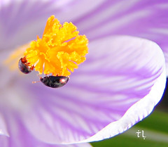 Gems (gráce) Tags: insect bug crocus saffron flower spring nature