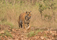 Young male Tiger - Panthera tigris (Gary Faulkner's wildlife photography) Tags: tiger pantheratigris