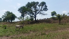Cattle in Palorinya refugee settlement (FAO Forestry) Tags: fao un uganda refugees unhcr world bank environment energy south sudan woodfuel forestry