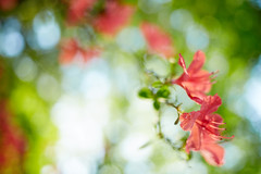 Red azalea (chibitomu) Tags: canon 5dmarkiii canonef35mmf2is azalea flower nature red nakain kawagoeshi saitama japan ツツジ 中院 川越市 埼玉県 日本 chibitomu