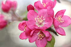 Crab Apple Blossoms (dianne_stankiewicz) Tags: tree crabapple floweringtree fruit flowers bloom pollen nature pink