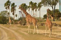 Giraffes & SkeiKra (CoasterMadMatt) Tags: buschgardenstampa2018 buschgardenstampa buschgardens busch gardens themepark amusementpark theme amusement park parks americanthemeparks reticulatedgiraffe reticulated giraffe giraffes giraffacamelopardalisreticulata sheikra divecoaster serengetiplain animal animals exhibits enclosures tampa hillsboroughcounty florida america unitedstates unitedstatesofamerica united states us usa northamerica january2018 winter2018 january winter 2018 coastermadmattphotography coastermadmatt photos photographs photography nikond3200