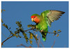 Peach Faced Lovebird (ob-one 2) Tags: h