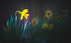 Daffodils (Dhina A) Tags: sony a7rii ilce7rm2 a7r2 minolta rf rokkorx 250mm f56 mirror reflex minolta250mmf56 md prime rokkor bokeh daffodils spring flower blossom