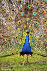 Peacock (JSB PHOTOGRAPHS) Tags: nd3056300001 peacock peafowl genera pavo afropavo phasianidae nikon d3 28300mm wildlife peabody