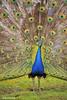 Peacock (JSB PHOTOGRAPHS) Tags: nd3056300001 peacock peafowl genera pavo afropavo phasianidae nikon d3 28300mm wildlife peabody
