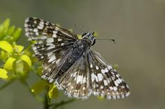 Pyrgus communis 2017-3 (lindnys) Tags: commoncheckeredskipper taoscanyon pyrguscommunis butterfly sommerfugl communis carson newmexico unitedstates us