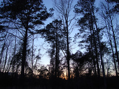 Backyard Silhouette. (dccradio) Tags: lumberton nc northcarolina robesoncounty outdoors outside nature natural sony cybershot dscw230 thursday thursdayafternoon afternoon plant sunset evening lateafternoon sky tree trees branch branches treebranches treelimbs