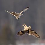 Short-eared Owls thumbnail