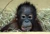 orangutan Sabbar Ouwehand BB2A3390 (j.a.kok) Tags: orangutan orangoetan animal ouwehands aap ape mammal monkey mensaap zoogdier dier primaat primate sabbar asia azie