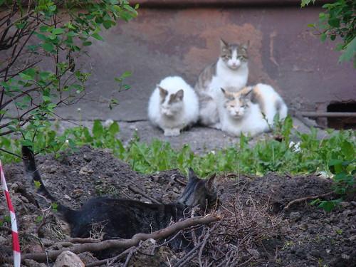 Кошки в Калининграде ©  ayampolsky