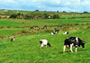 No milk today … (Le.Patou) Tags: ireland irlande waterford tramore landscape paysage prairie paturage meadow pasture vert green vache cow herbe grass