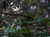 DSCF3443.jpg (david byng) Tags: esquimaltlagoon spring flowers vancouverisland forest colwood britishcolumbia canada rainforest