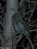 western screech owl 2 in tree (brian eagar - very busy - not much time to comment) Tags: bird nature wild wildlife animal utah utahbird utahwildlife utahnature outside outdoor olympus em1m2 em1mii 300mm olympus300mmf4 owl westernscreechowl screechowl nocturnal night nighttime godox v860iio godoxv860iio