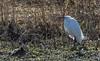 9Q6A7966 (2) (Alinbidford) Tags: alancurtis alinbidford brandonmarsh littleegret nature wildbirds wildlife