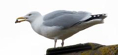 St Marys Herring gull and food