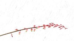 Une idée japonaise, mais pas que... (stephane.desire) Tags: minimaliste rose fleur lys japon blanc hautelumière paysage froid douceur cof020mari cof020chri cof020adel cof020cher cof020uki cof020pasc cof20ally