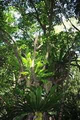 Brown Beech (Pennantia cunninghamii)  & ferns (Poytr) Tags: arfp nswrfp qrfp subtropicalarfp subtropicalarf subtropicalrainforest foxground illawarra brownbeech pennantia pennantiacunninghamii pennantiaceae tree forest rainforest fern arffern aspleniumaustralasicum asplenium epiphyte arfepiphyte kiama