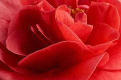 Camellia #2 (Lord V) Tags: macro flower camellia