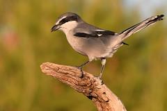 Southern Grey Shrike // Picanço-real (jvverde) Tags: laniusmeridionalis southerngreyshrike picançoreal bird picanço shrike