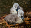 Days Old Mute Swan Cygnets (Cygnus olor) (Don Dunning) Tags: animals birds california canon7dmarkii canonef100400mmisiiusm cygnets cygnusolo lasgallinaswetlands marincounty muteswans sanrafael swans unitedstates