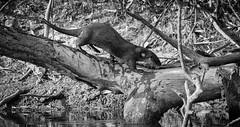 on the scent (tsd17) Tags: pantanal brazil miranda river barranco alto fazenda neotropical otter mono canon 7dmk11