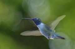 Hummingbirds in Llano, TX3 (Largeguy1) Tags: approved hummingbirdsinllano tx macro canon 5dsr tamron 150 600mm lens