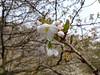 18o8397 (kimagurenote) Tags: 多摩森林科学園 tamaforestsciencegarden 桜 sakura cherry blossom prunus cerasus flower tree 東京都八王子市 hachiojitokyo