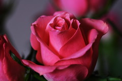 DSC_9082 (PeaTJay) Tags: nikond750 sigma reading lowerearley berkshire macro micro closeups gardens indoors nature flora fauna plants flowers bouquet rose roses rosebuds