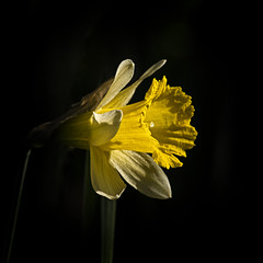 Spring Trumpet (MrBlueSky*) Tags: daffodil flower petal plant garden horticulture outdoor nature colour kewgardens royalbotanicgardens london pentax pentaxart pentaxlife pentaxk1 pentaxawards pentaxflickraward aficionados