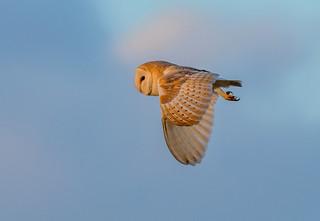 DSC0784  Barn Owl..
