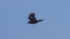 _U7A1048 (rpealit) Tags: scenery wildlife nature wallkill river national refuge area american crow flying snowing bird