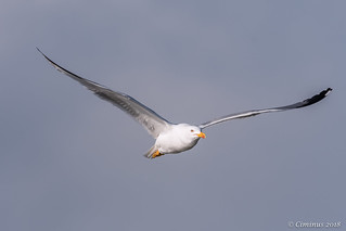 Seagull in flight.