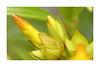 bngishakEOS 7D 0028994 (bngishak (Off..!!)) Tags: bngishak canoneos7d flower buds plant macro allamanda efs1855mmreverse semop sarikei nyelong sarawak
