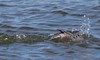 7K8A7420 (rpealit) Tags: scenery wildife nature barnegat lighthouse state park redbreasted merganser bird duck