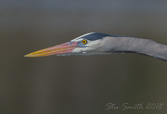 Great Blue Heron flyby... (My Kona Girl) Tags: gbh greatblueheroncolorado greatblueheron colorado coloradowildlife canon1dx canonef500mmf4lisusm canonef14xiii bird heron