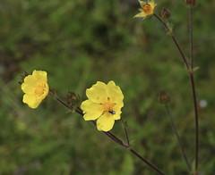 Potentilla_sp?_Unicornio_2_2 (Mark Egger) Tags: potentilla rosaceae