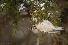 Golden-crowned Kinglet (Regulus satrapa) (*Ranger*) Tags: nikond3300 nature winter edgarevinsstatepark tennessee usa bird juniper snow
