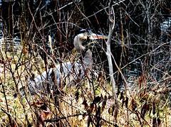 Hidden heron (EcoSnake) Tags: greatblueheron ardeaherodias birds wildlife spring march hidden idahofishandgame naturecenter