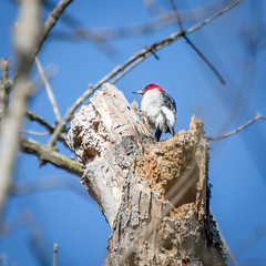 Red-headed Woodpecker, Lake Conestee, SC (hmthelords) Tags: lakeconestee