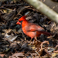 Northern Cardinal, Lake Conestee, SC (hmthelords) Tags: lakeconestee