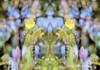 Butterflies (PAUL YORKE-DUNNE) Tags: butterflies collage overlay