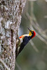 Melanerpes flavifrons (gastonCc) Tags: iguazu puertoiguazu misiones argentina avesdeargentina carpinteroarcoiris yellowfrontedwoodpecker melanerpesflavifrons