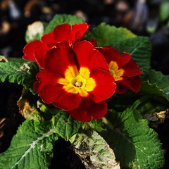 DSC_8936 (PeaTJay) Tags: nikon england uk gb royalberkshire reading winnersh flowers plants