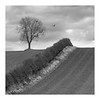 Borderline (richieJ 11) Tags: kelso scottishborders lonetree feilds hedge bird nest mono blackandwhite
